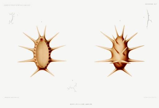 Deima, a sea cucumber illustration from Résultats des Campagnes Scientifiques by Albert I, Prince of Monaco (1848–1922). Original from Biodiversity Heritage Library.  Free Photo