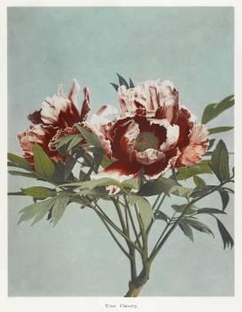 Tree Peony, hand–colored collotype from Some Japanese Flowers (1896) by Kazumasa Ogawa. Original from the J. Paul Getty Museum.  #390747