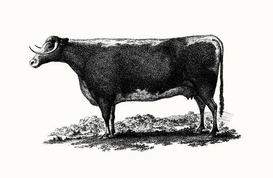 Vintage cow illustration. Original from British Library.  #390770