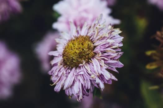 Aster flower in Gesees, Germany #390830