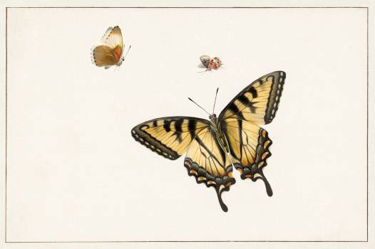 Three Butterflies by Herman Henstenburgh (c.1683-c.1726). Original from The Rijksmuseum.  #390863