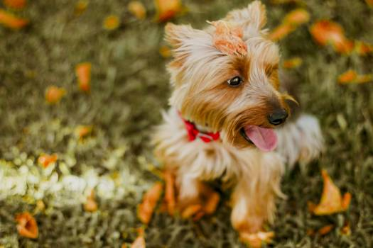 Fawn Australian Terrier Sitting on Grass #39091