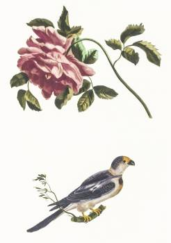 Rose and a Parakeet by Johan Teyler (1648-1709). Original from The Rijksmuseum.  #390997