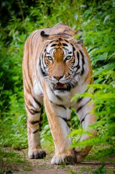 Tiger Beside Green Plants Standing on Brown Land during Daytime #39101