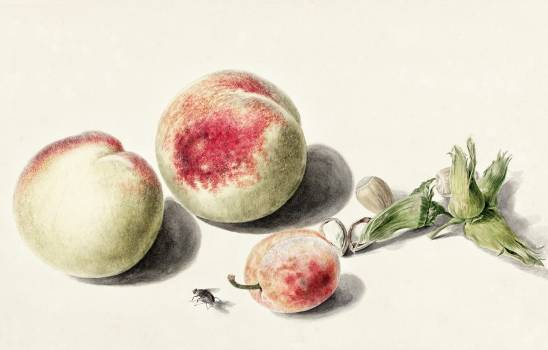 Peaches anda plum by Elisabeth Geertruida van de Kasteele, after Michiel van Huysum (1700-1800). Original from The Rijksmuseum.  #391102