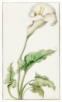 White arum by Elias van den Broeck (1665-1669). Original from The Rijksmuseum.  #391186