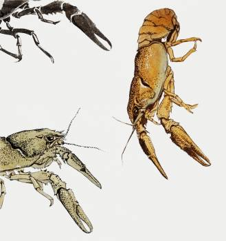 Sketches of crayfish by Julie de Graag(1877-1924). Original from The Rijksmuseum.  #391599