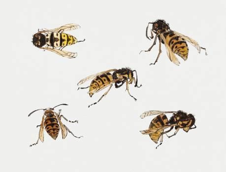 Studies of wasps by Julie de Graag (1877-1924). Original from The Rijksmuseum.  #391686