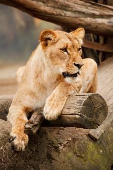 Brown Lioness #39227