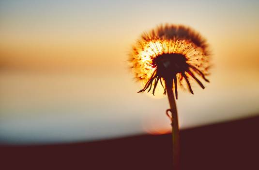 Sunset flower shadow dandelion Free Photo