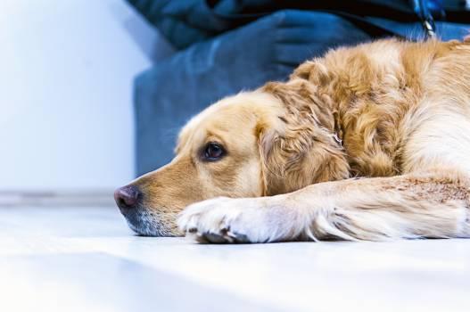 Dog pet labrador golden retriever #39254