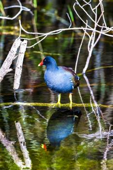 An American coot stands on a barely submerged branch in a pond. Original from NASA.  Free Photo