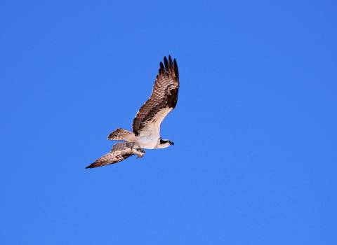 An osprey carries its food in its talons as it flies to its nest. Original from NASA.  #392982