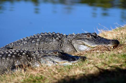 An alligator suns itself on the bank of a pond. Original from NASA.  Free Photo