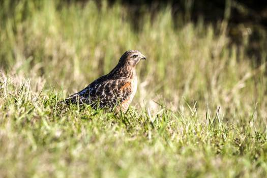 A Cooper's hawk walks through underbrush at NASA's Kennedy Space Center in Florida. Original from NASA .  #393241