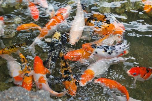 Focus Photo of Orange White and Black Fish in Ponds #39341