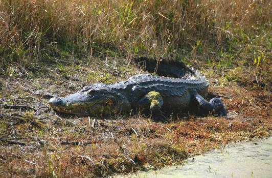 A large alligator suns on the bank of a pond within NASA's Kennedy Space Center. Original from NASA.  #393497