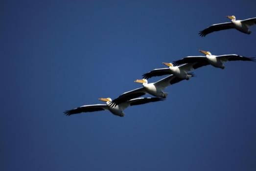 A flock of white pelicans cruise through the blue sky over NASA's Kennedy Space Center. Original from NASA .  Free Photo