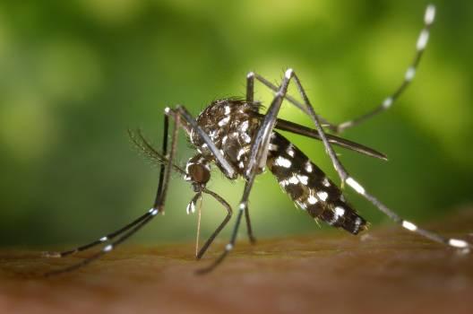 Black White Mosquito #39386