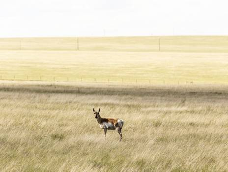 A lone antelope on the Laramie Plains, a high grassland south of Laramie, Wyoming. Original image from Carol M. Highsmith's America, Library of Congress collection.  Free Photo