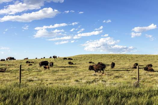 Bison herd in Weld County, Colorado, near the Wyoming line - Original image from Carol M. Highsmiths America, Library of Congress collection.  #393947