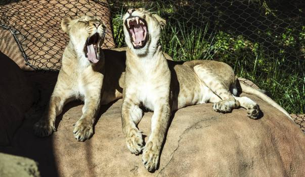 Two lionesses are less than excited about their chance to star in a photo shoot at the Santa Barbara, California, zoo. Original image from Carol M. Highsmith's America, Library of Congress collection.  #394030