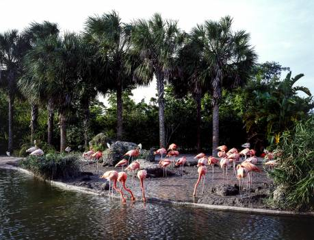 Flamingos walking around near a pond at the Miami Zoo. Original image from Carol M. Highsmith's America, Library of Congress collection.  #394106