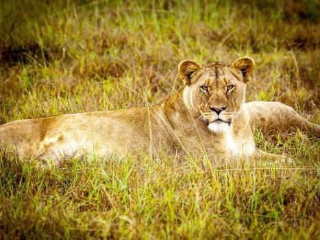 Brown Lioness #39436