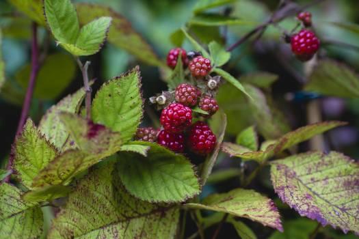 Close up of blackberries #394858