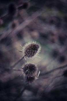 Dried thistle in Erlanger, Germany Free Photo