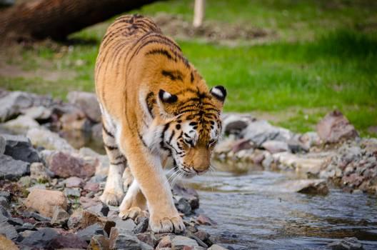 Tiger Near River at Daytime #39513