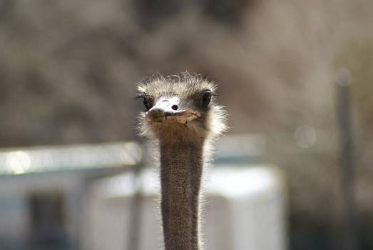 Ostrich sticking up his head #395654