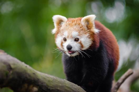 Red Panda at Daytime #39581