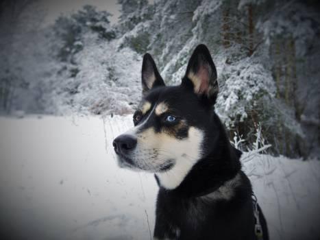 Black White and Tan Eas Siberian Laika Dog in Snow #39585