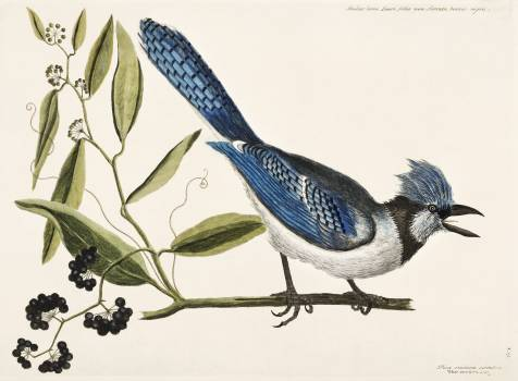 Crested Jay (Pica cristata carulea) from The Natural History of Carolina, Florida, and the Bahama Islands (1754) by Mark Catesby (1683-1749). Original from The Beinecke Rare Book & Manuscript Library.  #396601
