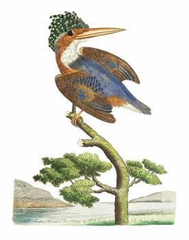 Crested Kingfisher illustration from The Naturalist's Miscellany (1789-1813) by George Shaw (1751-1813) #396664