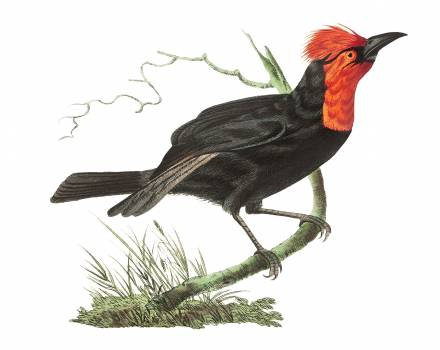 Malimbic tanager or Black tanager illustration from The Naturalist's Miscellany (1789-1813) by George Shaw (1751-1813) Free Photo