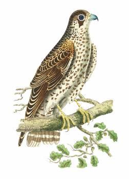 Falcon or Brown Falcon illustration from The Naturalist's Miscellany (1789-1813) by George Shaw (1751-1813) #396670