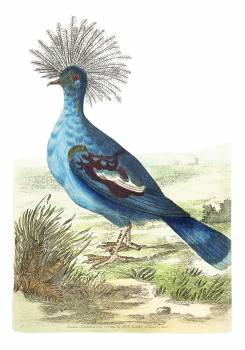 Crowned pigeon or Blue-grey pigeon illustration from The Naturalist's Miscellany (1789-1813) by George Shaw (1751-1813) #396672
