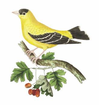 Golden Finch illustration from The Naturalist's Miscellany (1789-1813) by George Shaw (1751-1813) #396673