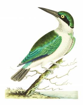 Green-headed kingfisher illustration from The Naturalist's Miscellany (1789-1813) by George Shaw (1751-1813) #396678