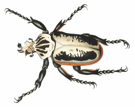 Goliath Beetle or Fork-headed Beetle illustration from The Naturalist's Miscellany (1789-1813) by George Shaw (1751-1813) #396709