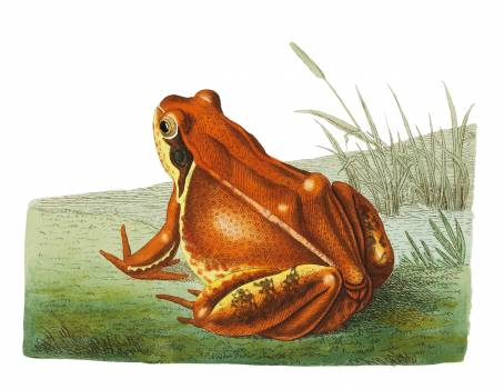 Frog illustration from The Naturalist's Miscellany (1789-1813) by George Shaw (1751-1813). #396727