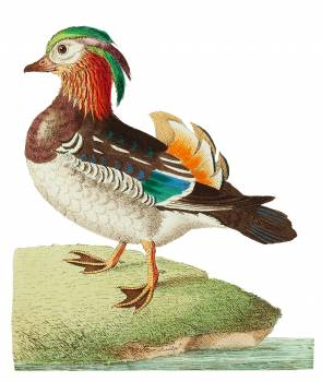 Chinese Teal or Mandarin Duck illustration from The Naturalist's Miscellany (1789-1813) by George Shaw (1751-1813) #396749