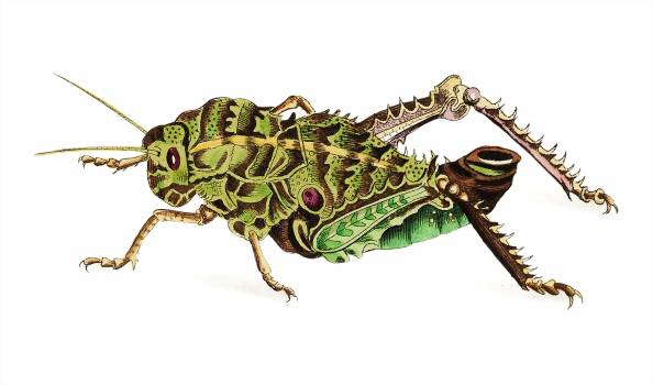 Elephant Locust illustration from The Naturalist's Miscellany (1789-1813) by George Shaw (1751-1813) Free Photo