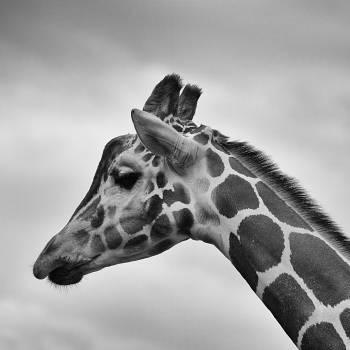 Giraffe animal zoo wildlife #39678