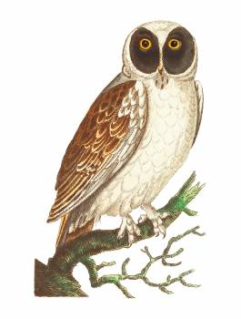 Masked Owl or White Owl illustration from The Naturalist's Miscellany (1789-1813) by George Shaw (1751-1813) Free Photo