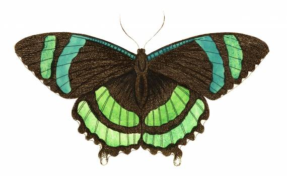 Green-banded tailed butterfly or Orontes illustration from The Naturalist's Miscellany (1789-1813) by George Shaw (1751-1813) #396816