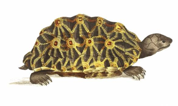 Radiated tortoise or Oval tortoise illustration from The Naturalist's Miscellany (1789-1813) by George Shaw (1751-1813). #396817
