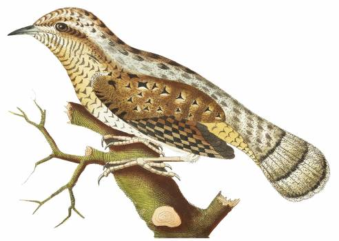 Wryneck illustration from The Naturalist's Miscellany (1789-1813) by George Shaw (1751-1813) #396837